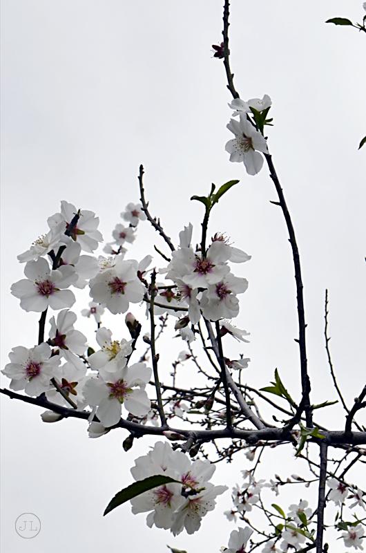 0615_cherry blossoms ii