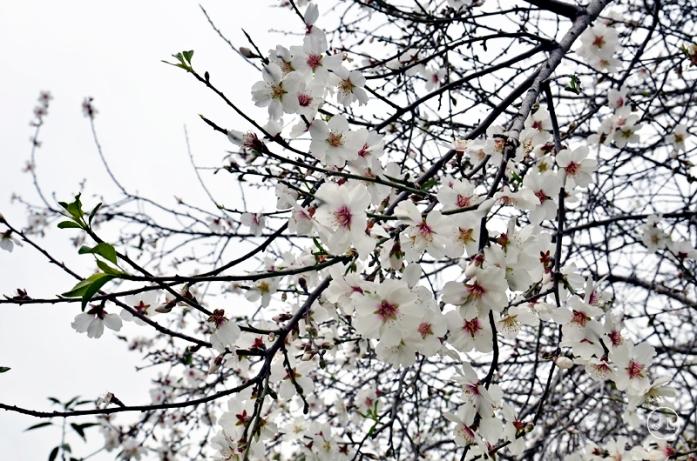 0615_cherry blossoms